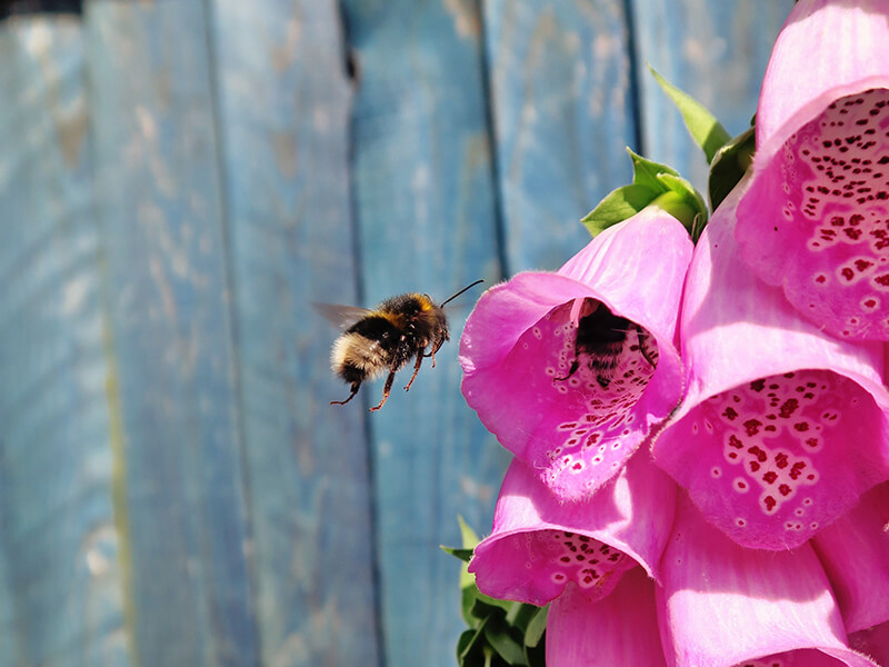 Bee next to pink flowers