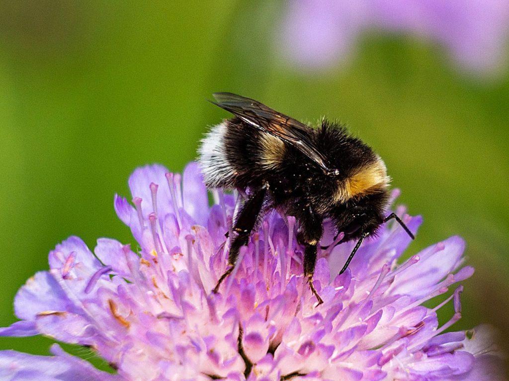 Bumblebee Busy Buzzing